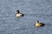 A Pair of Ring-Necked Ducks Swimming on a Lake — Stock Photo