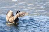 Canada Goose Encountering Ice Flow — Stock Photo