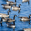 Flock of Canada Geese Swimming in Lake — Stock Photo #41812529