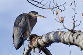Great Blue Heron Perched in a Tree — Stock Photo