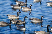Flock of Canada Geese Swimming in Lake — Stock Photo