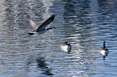 Canada Goose Flying Over Water — Stock Photo