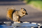 Frisky Squirrel Eating a Snack — Stock Photo