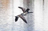 Two Canada Geese Flying Over Water — Stock Photo