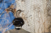 Curious Female Wood Duck — Stock Photo
