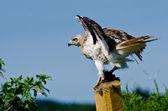 Red-Tailed Hawk Taking to Flight — 图库照片