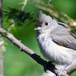 Young Tufted Titmouse Perched on a Branch — Stock Photo