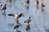 Canada Goose Landing on Frozen Lake — Stockfoto