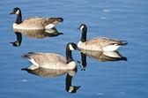 Trois bernaches du canada de natation dans le lac automne — Photo