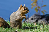 Cute Little Squirrel Standing in the Grass — Стоковое фото