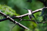 Hummingbird Looking for Trouble — Стоковое фото