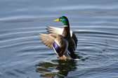 Mallard Duck Stretching Its Wings — Stock Photo