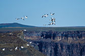 Snow Geese Flying Above the Canyon — Stock Photo