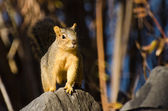 Frisky Squirrel Resting on a Rock — Stock Photo