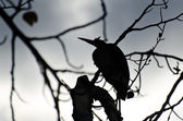 Silhouette of Great Blue Heron Perched in a Tree — Photo