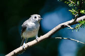 Tufted Titmouse Perched on a Branch — Stock Photo