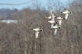 Northern Pintails Flying Over Marsh — Stock Photo