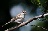 Chipping Sparrow Perched on a Branch — Photo