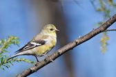 Female Goldfinch Perched in a Tree — Stock Photo