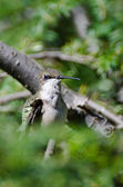 Hummingbird Making Eye Contact — Stock Photo