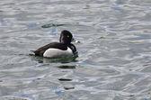Mužské proužkozobý plavání v jezeře — Stock fotografie