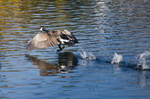 Canada Goose Taking Off From Water — Stock Photo