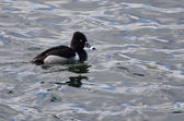 Male Ring-Necked Duck Swimming in a Lake — Stock Photo