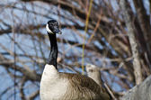 Quizzical Looking Canada Goose — Stock Photo