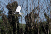 Great Egret Flying Over the Marsh — Stock Photo
