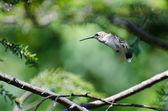 Startled Hummingbird — Stock Photo