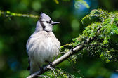 Young Blue Jay All Puffed Up — Stock Photo