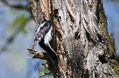 Downy Woodpecker Entering Its Home — Stock Photo