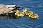 Goslings Staying Close to Mom — Stock Photo