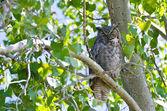 很大的猫头鹰栖息在一棵树的树枝 — 图库照片