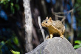 Frisky Little Squirrel Standing Alert on a Rock — Stock Photo