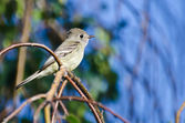 Gray Flycatcher Perched on a Branch in a Tree — Stock Photo