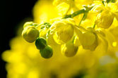 Yellow Flower Blossoms — Stock Photo