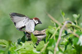 Mating House Sparrows — Stock Photo