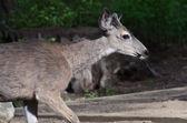 Profile of a Buck Deer — Stock Photo