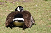 Canada Goose Napping on the Grass — Stock Photo