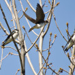 Tree Swallows Landing in a Tree — Stock Photo #48167099