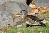 Female Wood Duck in Autumn — Stock Photo