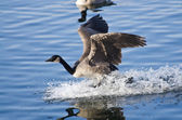 Canada Goose Landing in Water — Stock Photo