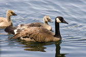Goslings Swimming With Mom — Stock Photo