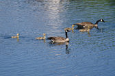 Cute Little Goslings Swimming with Parents — Stock Photo