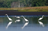 Four Great Egrets Hunting for Fish — Stock Photo