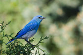 Mountain bluebird arroccato in un albero — Foto Stock