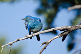 Mountain Bluebird Scratching an Itch — Zdjęcie stockowe