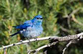 Ruffled Mountain Bluebird Perched in a Tree — Stock Photo