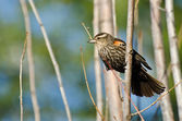 Immature Red-Winged Blackbird Perched in a Tree — Stock Photo